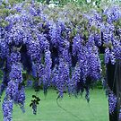Lavendar Wisteria in May by Kathleen Hamilton
