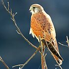 A Nankeen Kestrel by jozi1