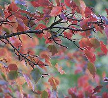 Autumn leaves, Mount Lofty Botanical Gardens,S.A. by elphonline