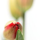 Fresh Tulips... (vertical) by Bob Daalder