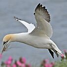 Gannet by dilouise