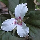 White Trillium  by DreamCatcher/ Kyrah Barbette L Hale