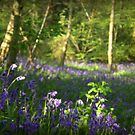Misty Bluebells by carolhynes
