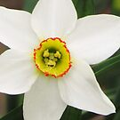 Petite Daffodil by lorilee
