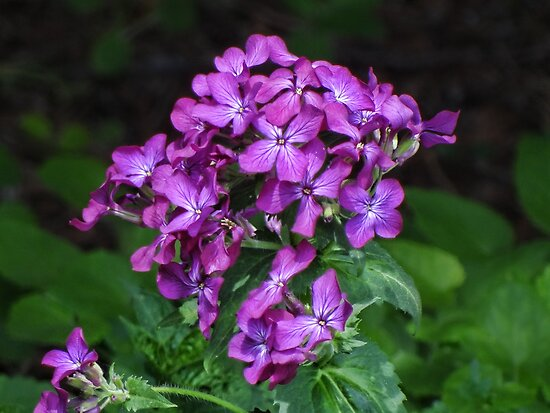 Purple Phlox by vigor