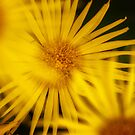 Shy Doronicum by Pete5