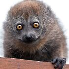 Baby Lemur by Krys Bailey