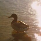 Sitting Duck  by SoftHope