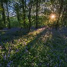 Bluebells by James Grant