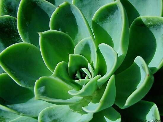 Succulent by Loree McComb