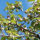 Paradise apples on a branch by mrivserg