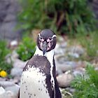 Penguin spotted me by Madsen1981