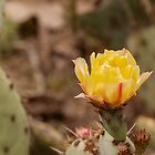 Cactus Flower by don thomas