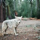 Wolf In Yosemite by ArnauDubois