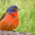 Painted Bunting in Spring by Bonnie T.  Barry