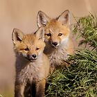 Two Fox Kits by utahwildscapes