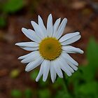 Little Daisy by rosaliemcm