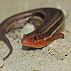 Five-lined Skink  by Michael L Dye