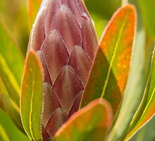 Protea by fotosic