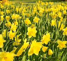 Field of Daffodils by CarlH2013