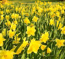 Field of Daffodils by CarlH2013