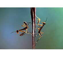 Young praying mantids Photographic Print