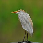 Cattle Egret by photosbyjoe