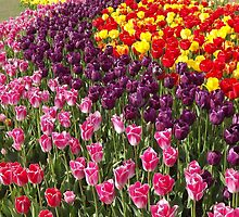 Tulip Garden in the Mid-day Sun by seeingred13
