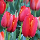 Red Tulips Galore by Rogere0829