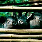 The three not so little pigs by areyarey