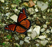 Viceroy Beauty by Brenda Burnett