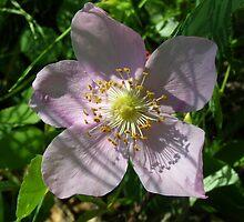 Alaska Wild Rose  (Rosa acicularis) by JackzPlace