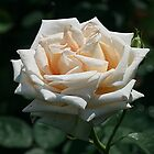 Peach of a Rose by Monnie Ryan