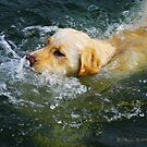 """Yellow Lab Swims MIchigan Lake"" by Paul Ewing"