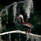 Black Bellied Whistling Duck by Joe Jennelle
