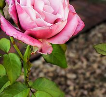 The Prettiest Pink Rose by StudlyMuffin