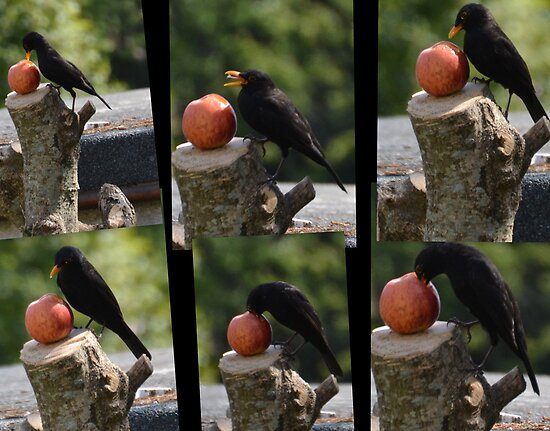 The Apple And The Blackbird by lynn carter