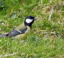 Great Tit by Brian Avery