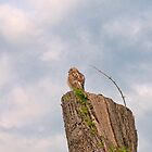 Cooper&#x27;s Hawk 2 by KathleenRinker