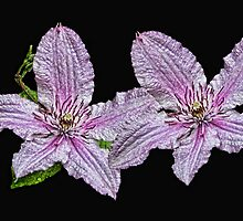 Pink and White Clematis by Avril Harris