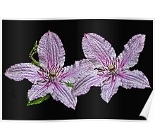 Pink and White Clematis Poster