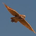 051813 Burrowing Owl in Flight by Marvin Collins