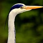Grey Heron by Stan Owen