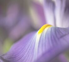 Iris in Soft Light by Mariola Szeliga