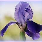 My Iris Opened by trueblvr