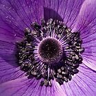Purple Poppy by Adam Bykowski