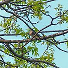 Little Bird in Black Walnut Tree by Susan S. Kline