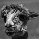 Alpaca in B+W by Adrian Kent