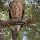 Cooper's Hawk by Kimberly Chadwick