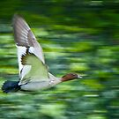 maned wood duck in flight by nadine henley